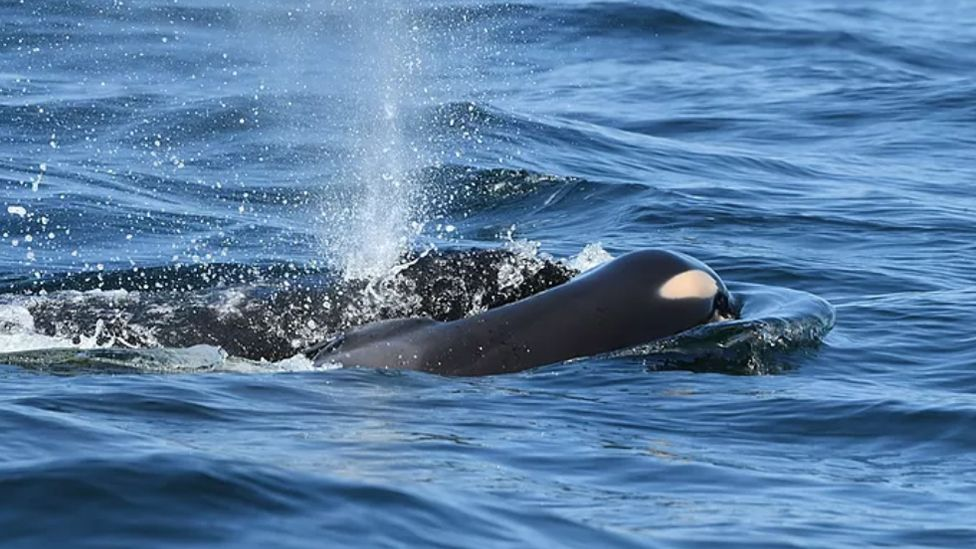 Whale seen carrying calf