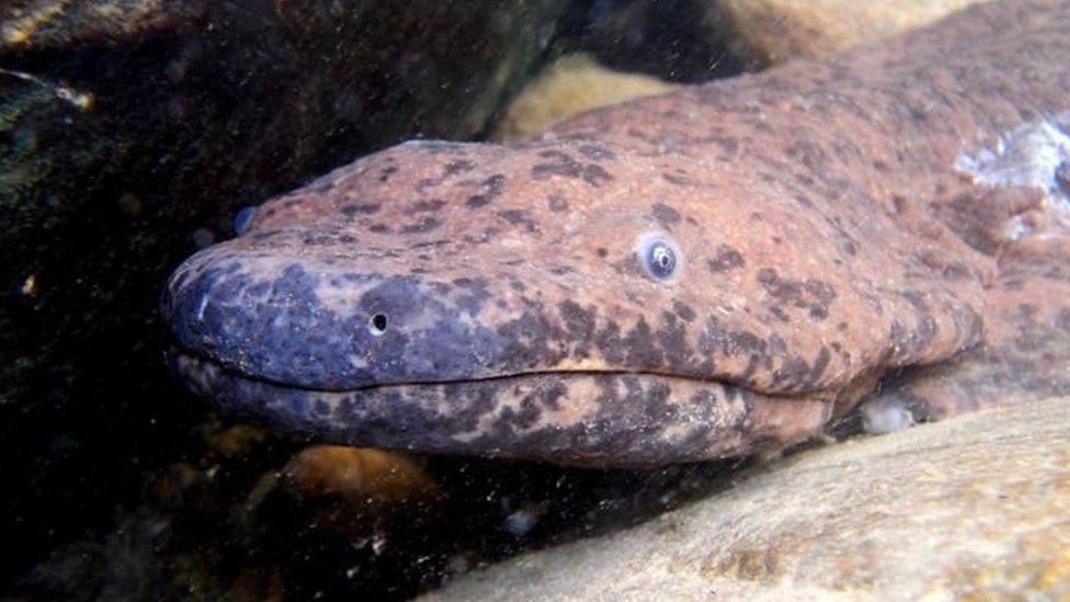 """El """"anfibio más grande del planeta"""" fue descubierto en un museo"""