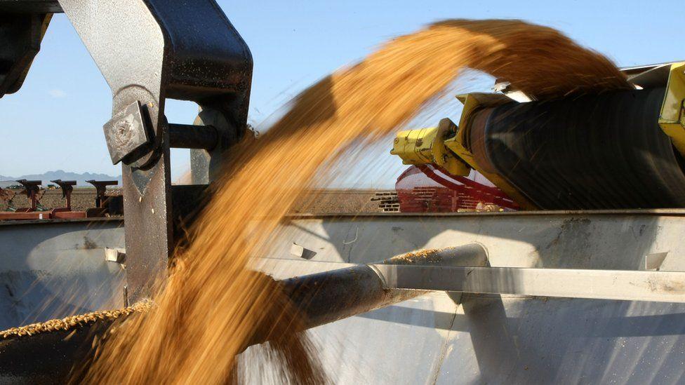 Machine transfers rice seeds to bucket