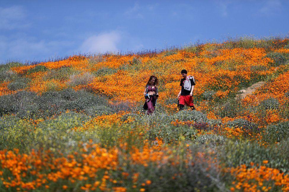 People walk in a super bloom of poppies in Lake Elsinore, California