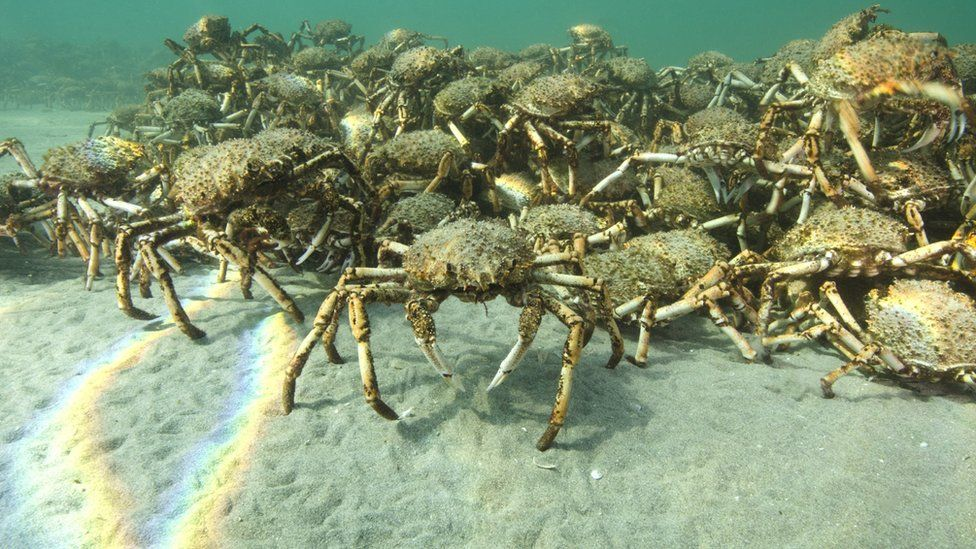 Giant spider crabs clamber over one another in waters off Australia