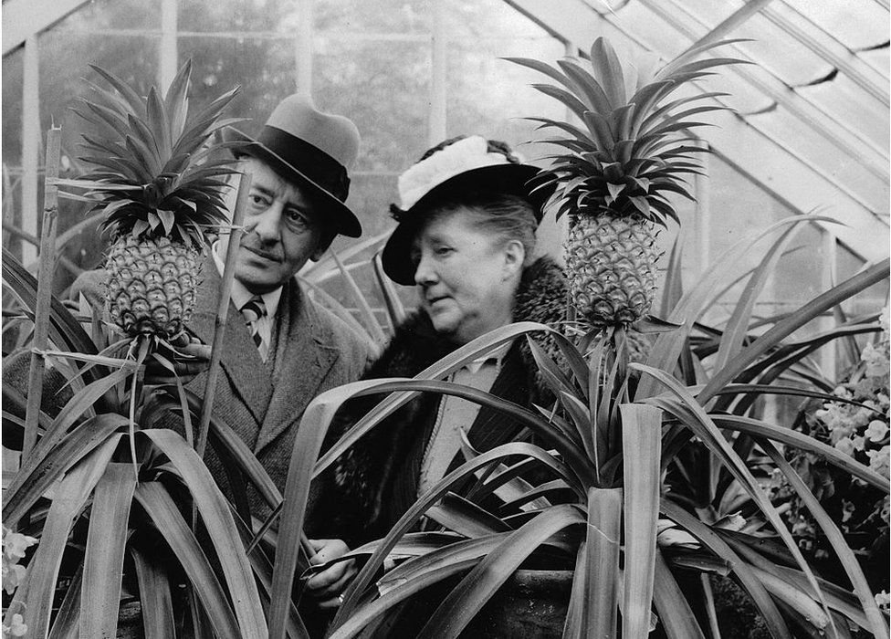 in a pineapple growing house