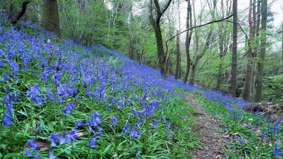 Bluebells Presteigne, Powys.
