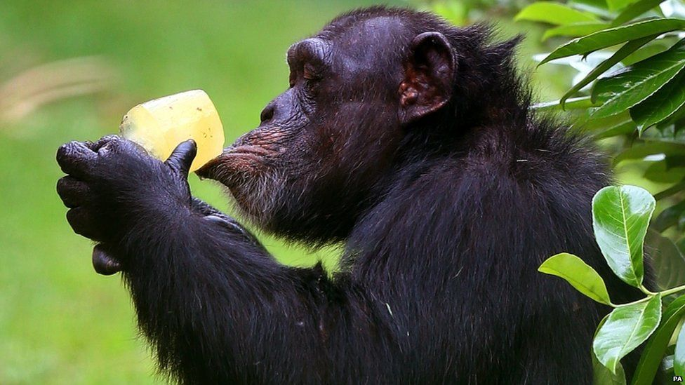 A chimpanzee cools down with an ice lolly at Chester Zoo
