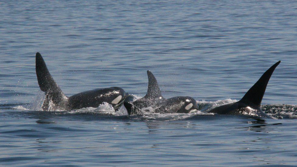 UK killer whales