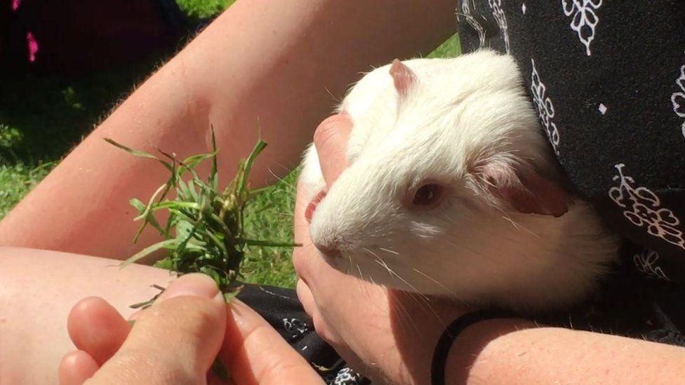 Emmeline the guinea pig