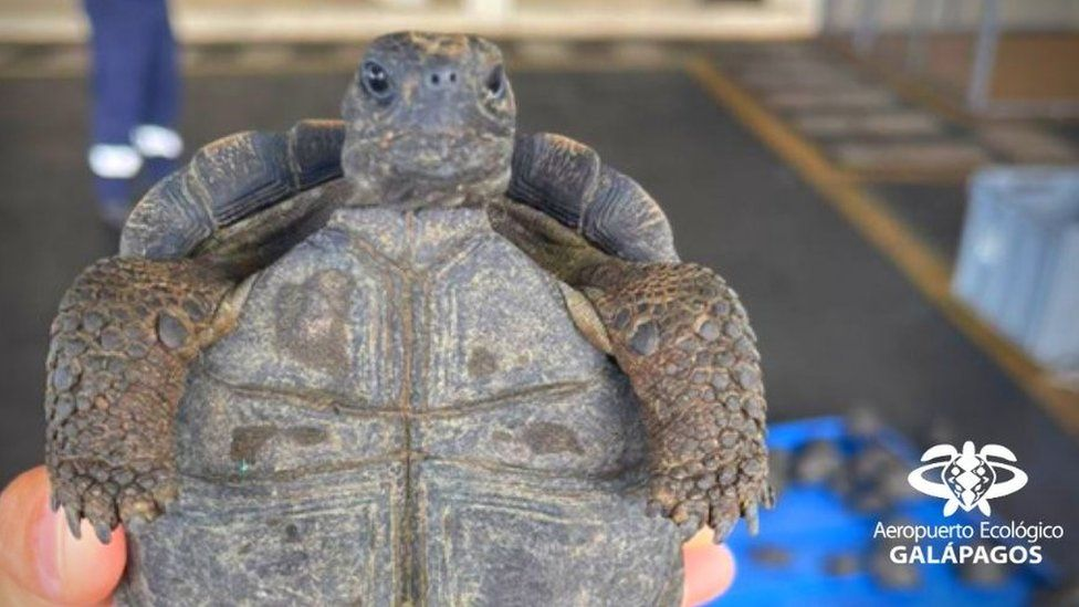 One of the tortoises seized at Baltra airport