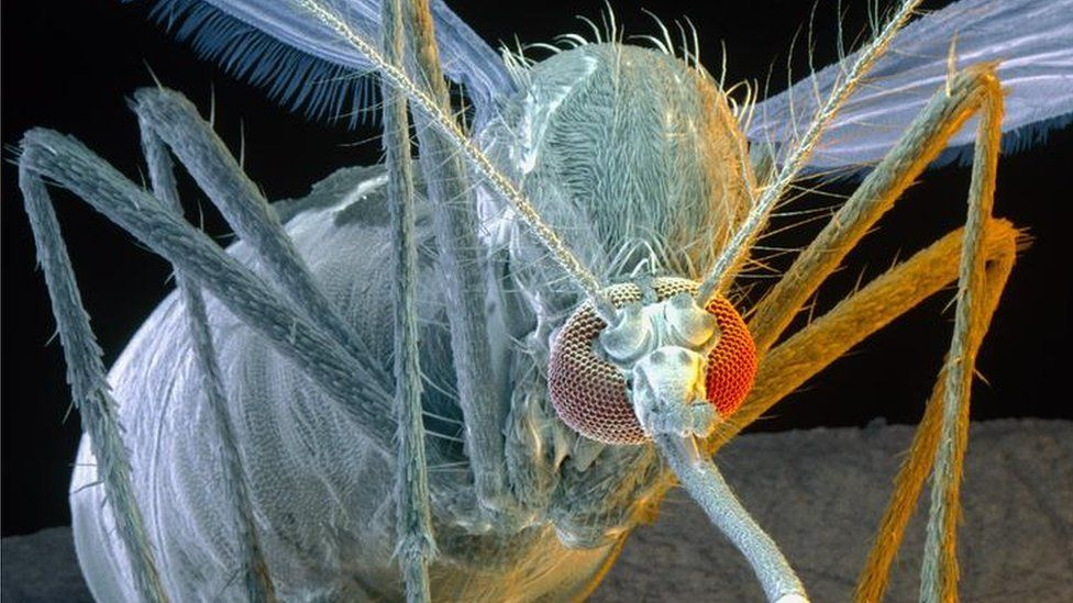 Coloured Scanning Electron Micrograph (SEM) of a female yellow fever mosquito Aedes aegypti.