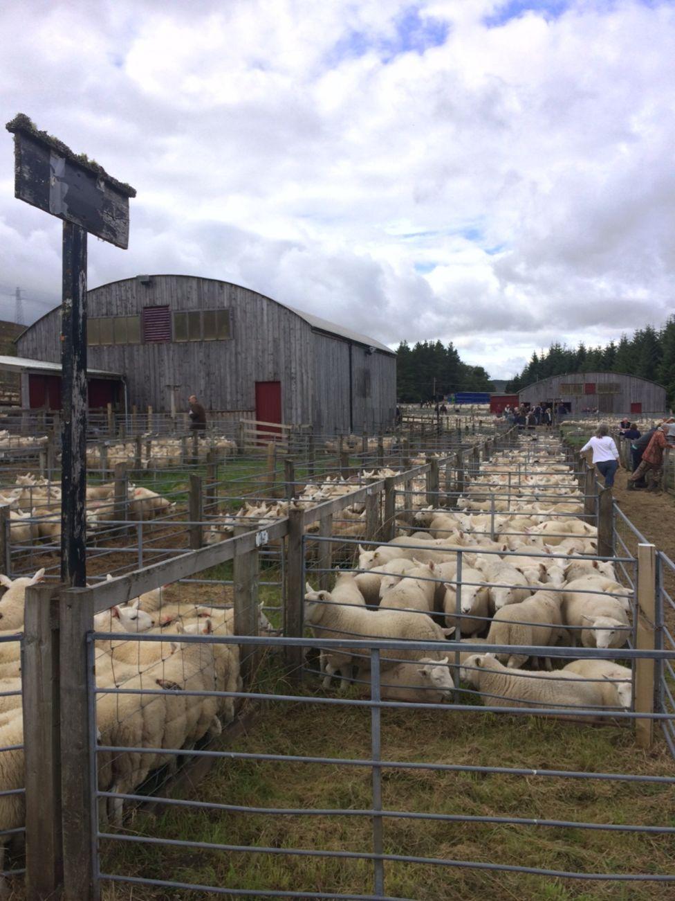 Lairg sheep sales