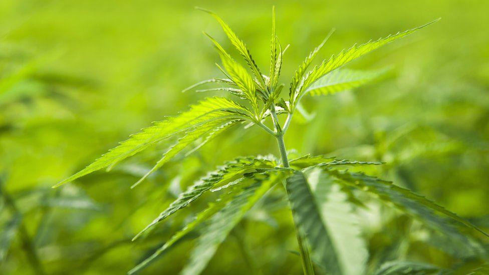 Обычная марихуана административная ответственность за хранение марихуаны