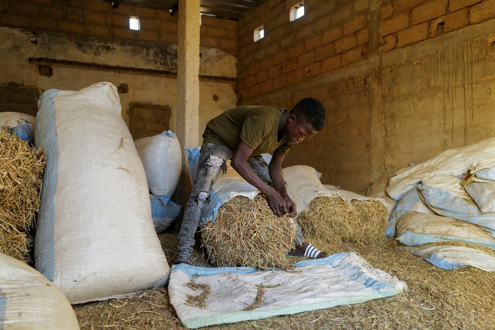 Fallou Diop prepares hay for the horses at the Lambafar stable in Niaga, Senegal, 27 January 2021