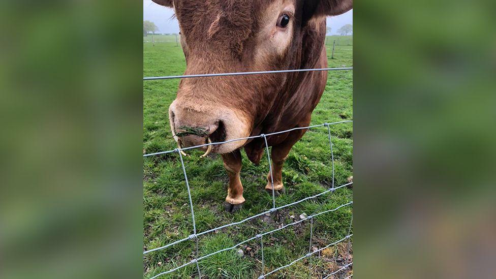 Ron the bull