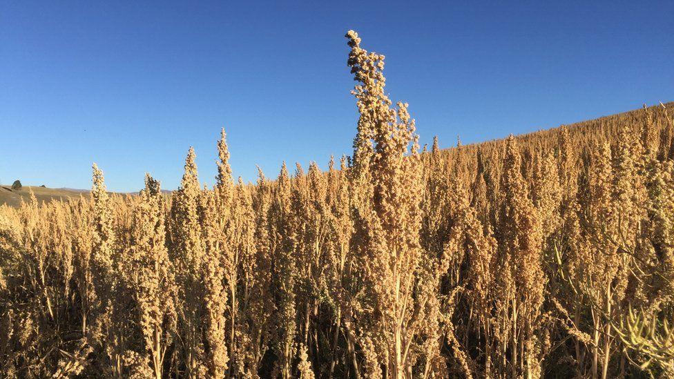 Quinoa in a field