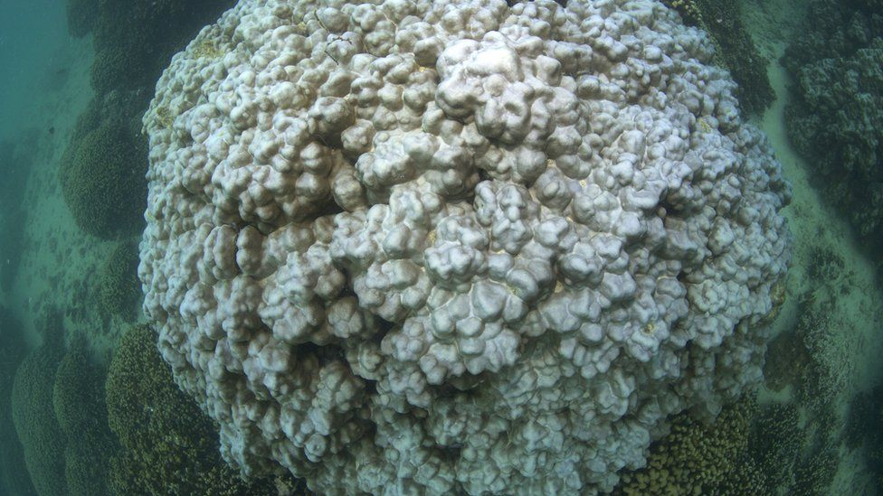 Bleached coral almost completely white