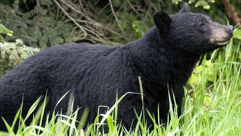 File image of black bear in British Columbia, Canada
