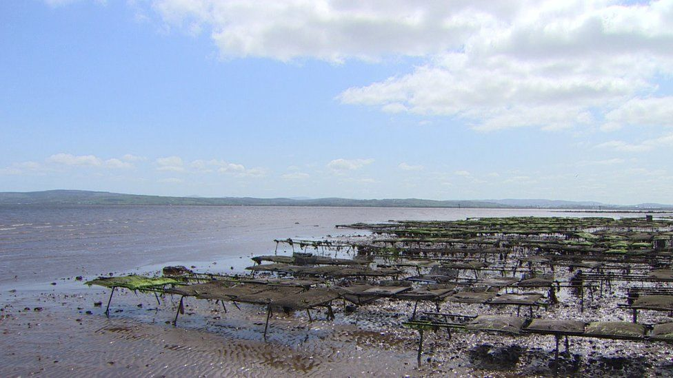 Oyster beds in Lough Foyle