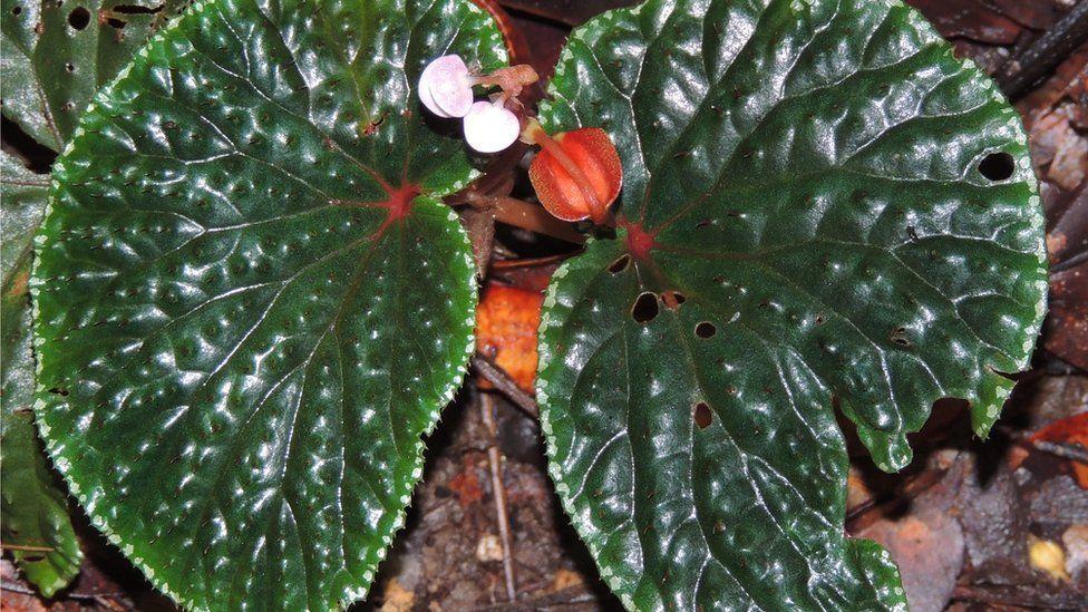 Begonia ruthiae (Sabah)