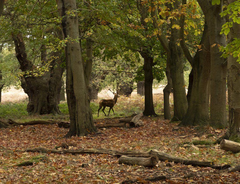 A deer walking in woodland