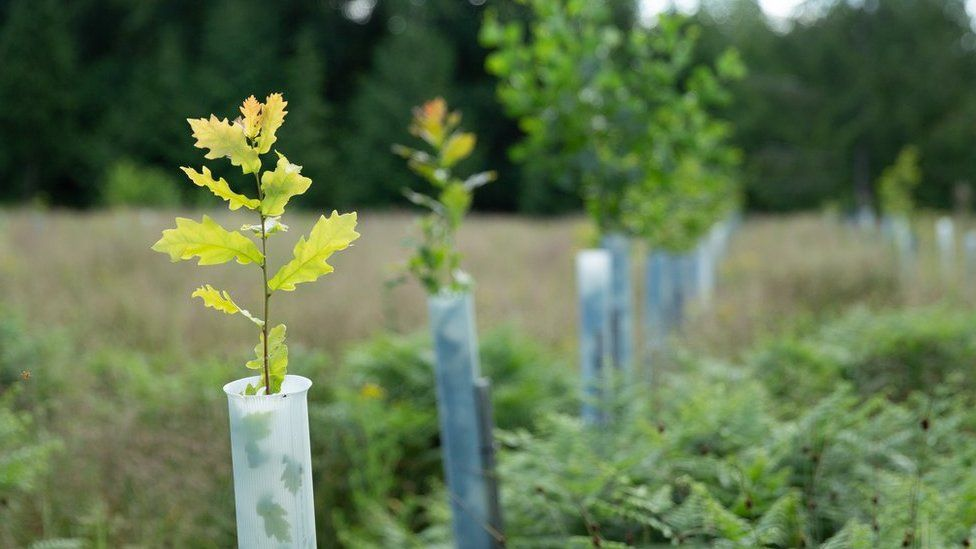 Oak saplings