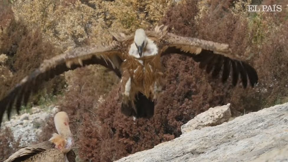 Tagged griffon vultures in Spain