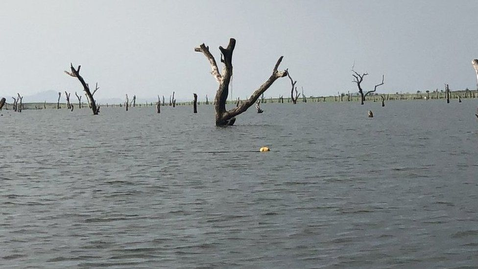 African hardwoods submerged in Ghana's Lake Volta