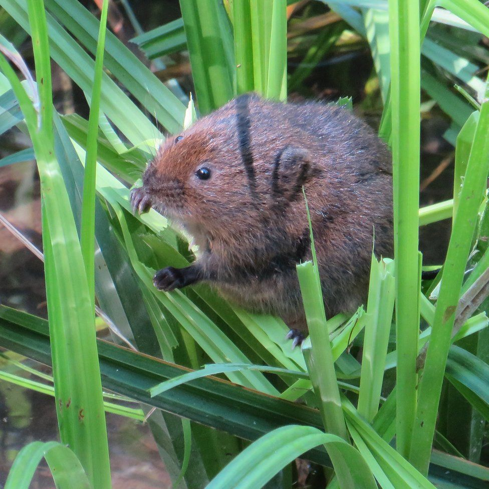 A water vole in grass