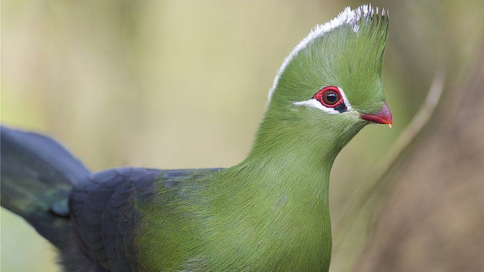 Ancient Parrot In New Zealand Was 1m Tall Study Says Bbc News