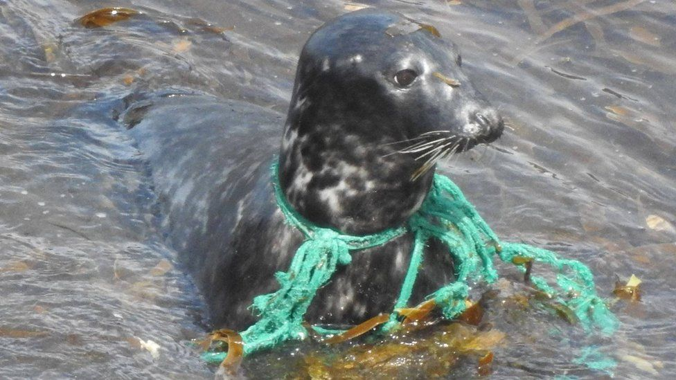 Seal with green rope stuck around its neck