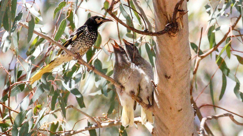 Regent honeyeater with chicks