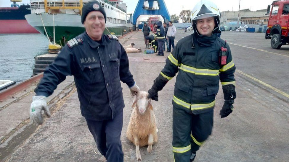 Emergency crew involved in the operation tow a sheep