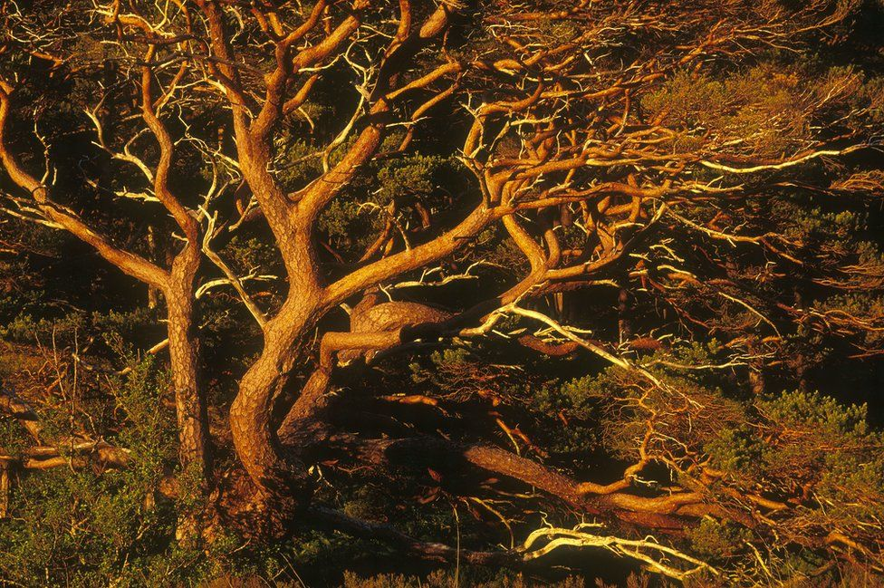 Scots Pine boughs at dusk