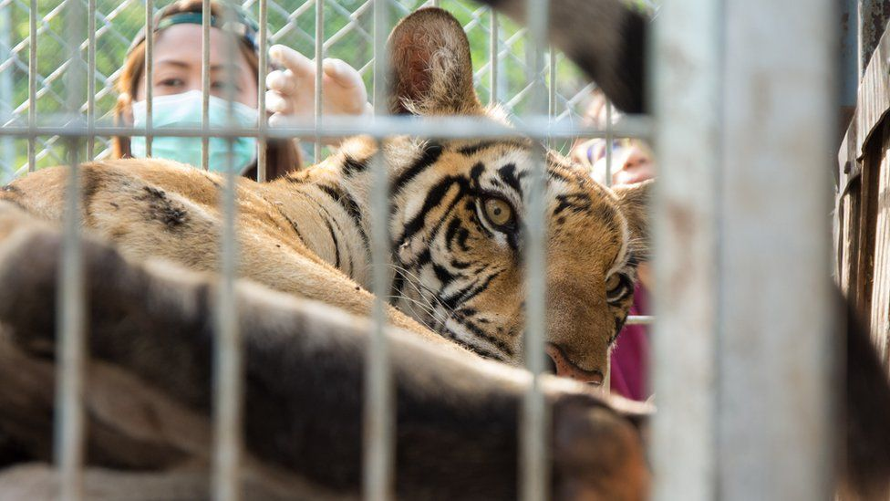 A tiger in a cage at the temple in Thailand