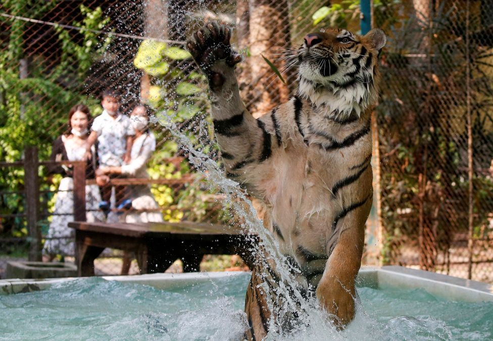 A tiger plays in water at a zoo in Chiang Mai, Thailand, on 31 March 2021