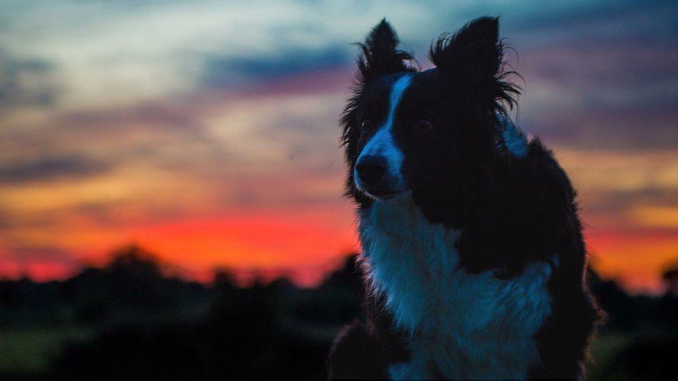 Seren the border collie at sunset