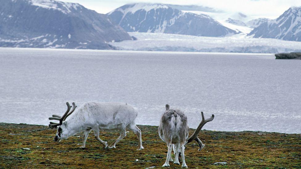 Svalbard reindeer on Spitzbergen, Svalbard