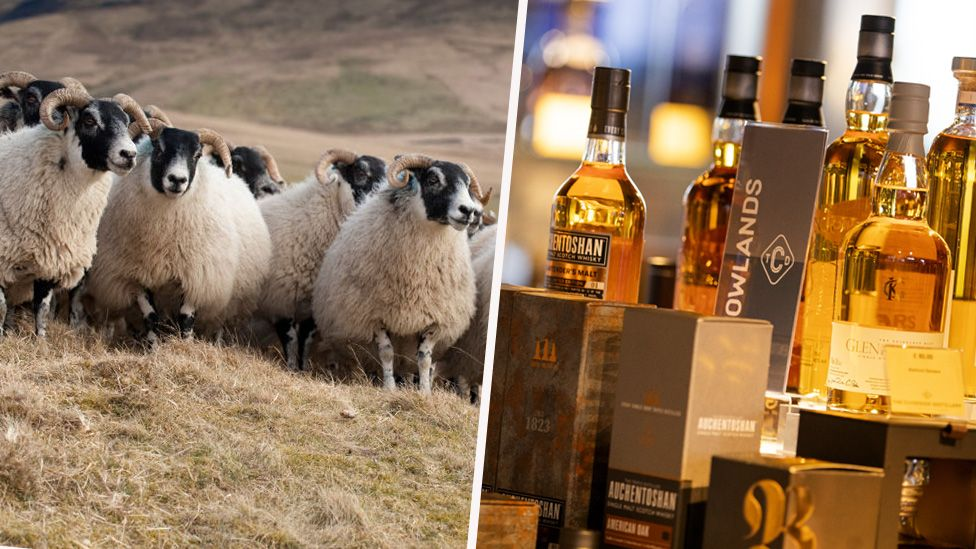 sheep and whisky