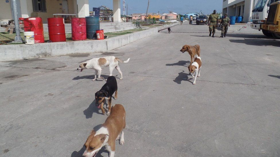 Abandoned dogs walk the streets of Barbuda