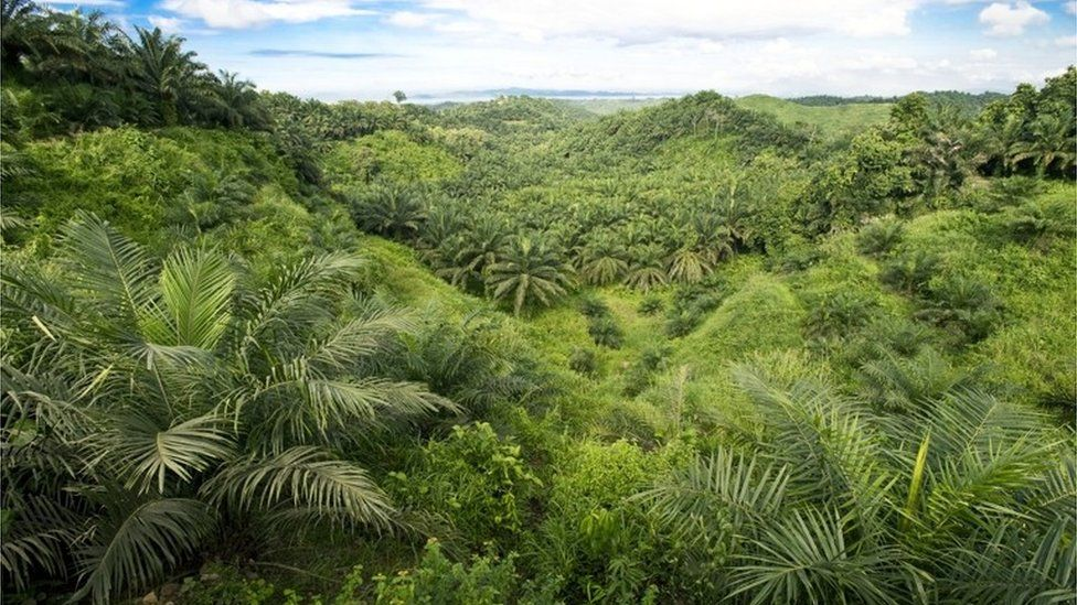 Oil palm plantation, Malaysia