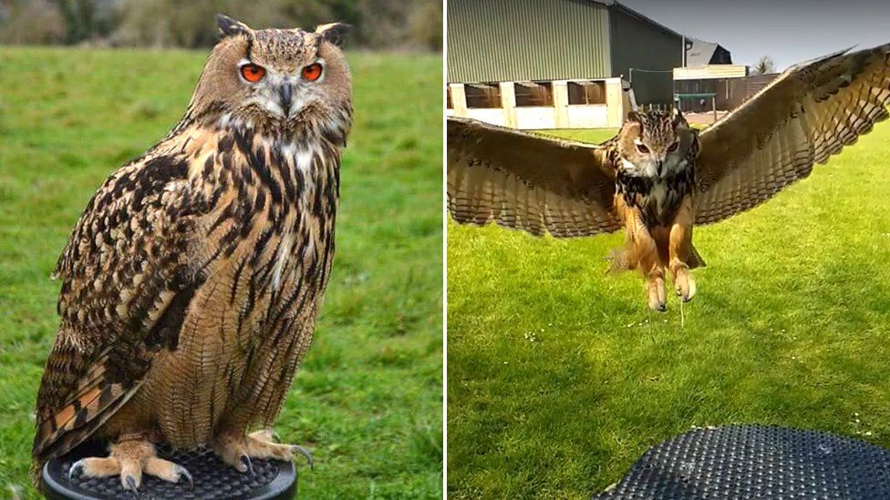 European Eagle Owl Bella