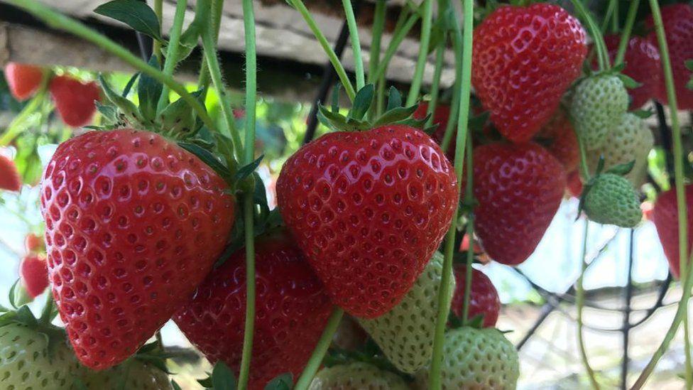 Strawberries on James Porter's farm