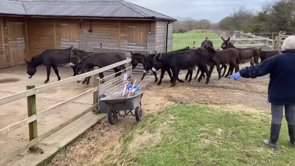 Rescued donkeys and foals being ushered into their new stables