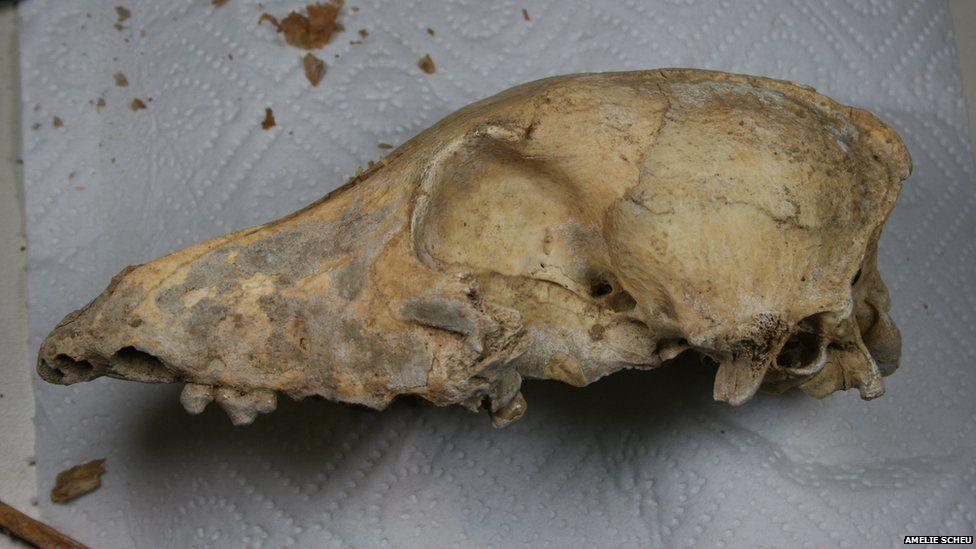 Ancient dog skull