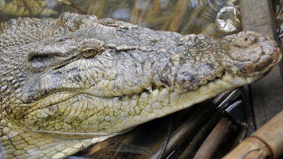 picture of a crocodile in Indonesia