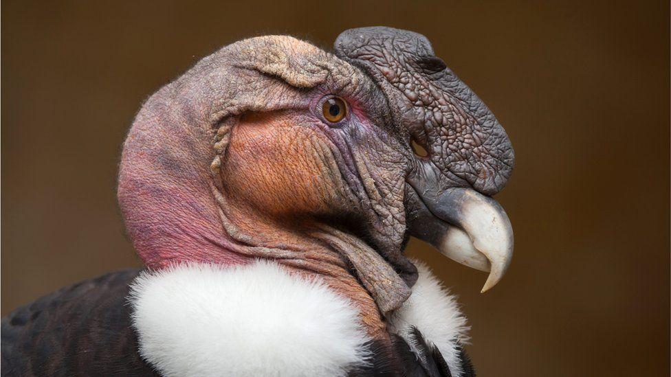 Photo of an Andean condor (Vultur gryphus)