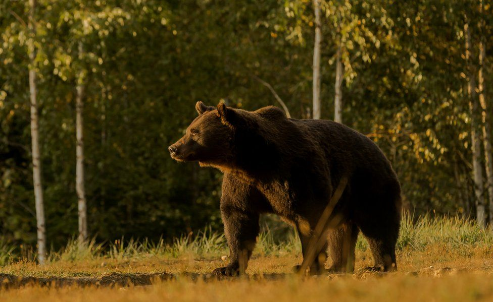 Bear in Zabala, Transylvania