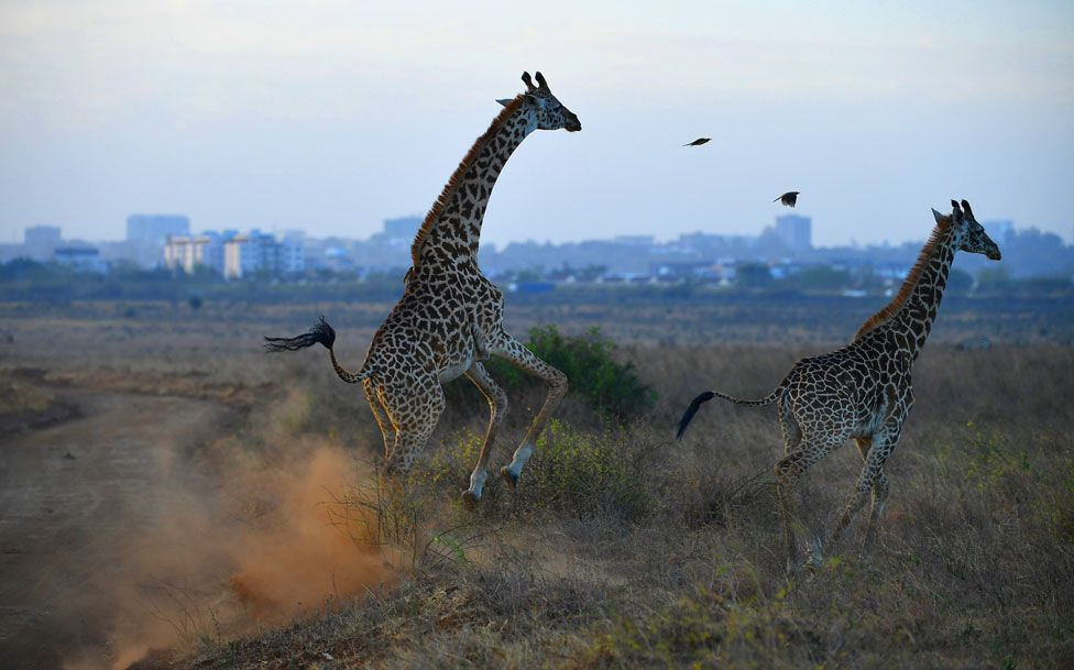 Giraffes running with city skyline in the backdrop - Nairobi, Kenya on March 13, 2019