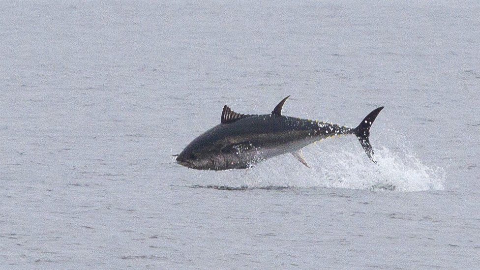 An Atlantic bluefin tuna breaches the surface of the sea while feeding in UK waters