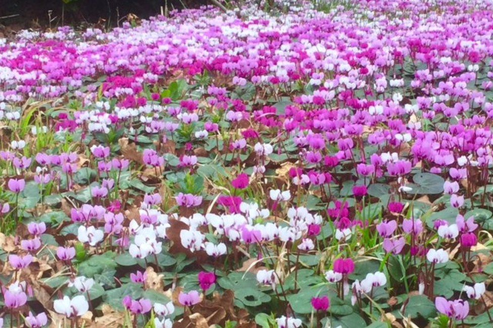 Pink and white Cyclamen