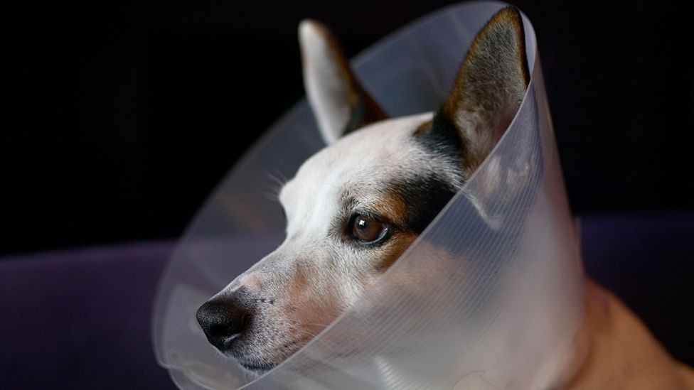 Jack Russel with cone