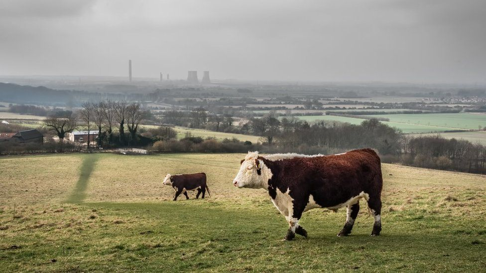 A view from Wittenham Clumps of cattle and Didcot Power Station in the background